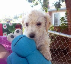 My Peanut - Poodle/maltese mix Peanut Pictures, Maltese Mix, Mini Poodles, Poodle Mix, Maltipoo, Australian Cattle Dog, Life Photo, Dog Life, Puppies
