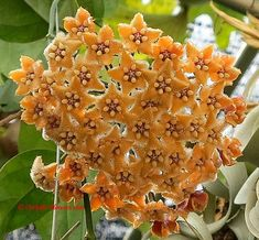 Hoya fraterna has a brown star in the center of each floret