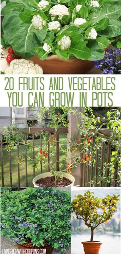 garden pots You dont have to have a big backyard, or a planting bed to grow your own fruits and vegetables. There are lots of fruits and vegetables that can easily be grown in pots. Check out this list 20 Fruits amp; Vegetables You Can Grow In Pots! Veg Garden, Garden Pots, Potted Garden, Garden Ideas, Porch Garden, Fruit Garden, Gardening For Beginners, Gardening Tips, Gardening Apron