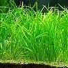 Tenelus Tenelus (Echinodorus tenelus tenelus)-unidade 2-6 cm