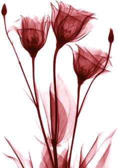 Flor Tattoo, Tulip Tattoo, Black And White Flowers, Black White, Pink Flowers, Desenho Tattoo, Photo Wallpaper, Picture Design, Art Photography