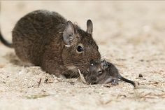 degu mom                                                                                                                                                      More