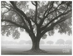 Silhouette Oak Art Print by William Guion at Art.com