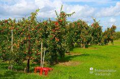 nice Apfelplantage Königreich Numero 16,  #Landleben