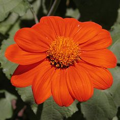 How to Care for Mexican Sunflower Mexican Sunflower, Mexican Flowers, Sunflower Coloring Pages, Mexican Garden, Orange Plant, Light Purple Flowers, Invasive Plants, Foundation Planting, Garden Plants