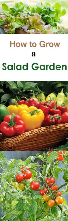 Learn how to grow a salad garden. If you're a beginner and started gardening recently, read below to find out about the vegetables you'll need to grow.