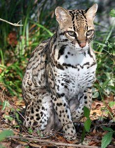 Scenes from Big Cat Rescue:  Nirvana the Ocelot (Leopardus pardalis) (via: Big Cat Rescue, Tampa, FL)