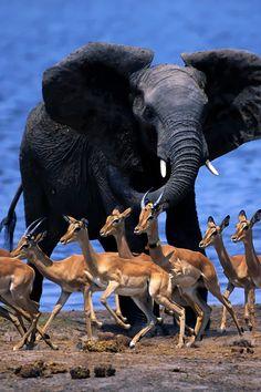 Elephant Antelope Encounter
