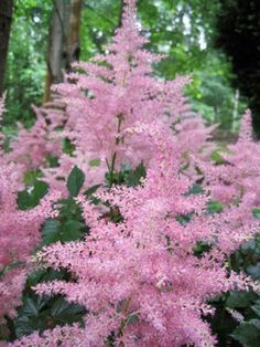 Astilbe: a shade-loving plant. Perfect for Zone 5 planting. - Would be great in the shadier areas of the back yard :)