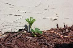 Growing Organic Strawberries | WholeLifestyleNutrition.com