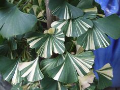 This rare and much sought after clone has wide bands of white variegation on green fan-shaped leaves - striking.like lightning tall in 8 years. Luminous butterscotch and ivory fall color. Unusual Plants, Rare Plants, Exotic Plants, Cool Plants, Tropical Plants, Colorful Plants, White Plants, Green Plants, Trees To Plant