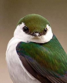 The Violet-green Swallow (Tachycineta thalassina) is a small North American swallow. Photo Christine Haines