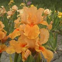 iris germanica   kwekerij 't Hoefblad