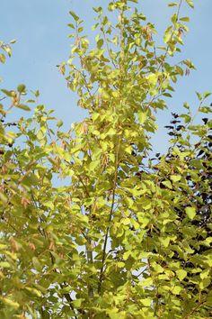 Grey Alder Aurea Alnus Incana Planting Plan Growing Tree
