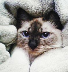 Boa noite! ♡ #GatíssimosHor #Tonks #Gatos #Siamês #OlhosAzuis #Amor #Animais #Bigodes #Sialata #Cat #Catlovers #Instacat #CatsBrazil #CatGram #LoveCats #CatCwb #ILovePets #ILoveCats #Ronron #CatPhotos #CatModel #GatosdeCuritiba #CatMeowdel #CatsofInstagram #CatLovers #BlueEyes #Siamese #Whiskers #Chat #Katze