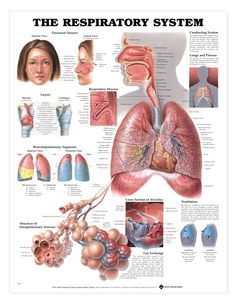 The Respiratory System anatomy poster shows the structure of intrapulmonary airways and the cross section of alveolus. Pulmonology for doctors and nurses. Respiratory System Anatomy, Respiratory Therapy, Lung Anatomy, Body Anatomy, Medical Examination, Human Anatomy And Physiology, Medical Information, Body Systems, Human Body