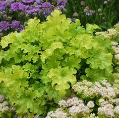 Fill all those empty spots with these big chartreuse leaves: they are elegantly ruffled, and so bright they seem to glow neon even in the shade!