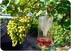 Ловушка для ос своими руками из пластиковой бутылки Summer House Garden, Home And Garden, Small Farm, Outdoor Plants, Vineyard, Alcoholic Drinks, Fruit, Gardening, Country Life
