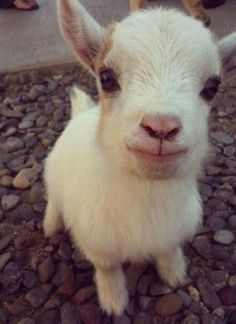 Baby goat! Source: http://imgur.com/r/aww/zgey66Y Do you like cute animals? You will adore this blog!