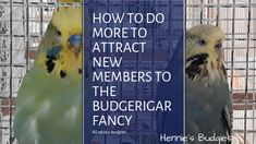 how to do more to attract new members to the budgerigar fancy Life Tv, Main Attraction, Budgies, Have Time, Fancy, Shit Happens, News, Parakeets