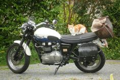Hector is worried that the humans are leaving again on another Triumph Scrambler road trip. Sorry, Hecky, be back soon!