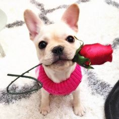 """I picked this just for you"", adorable French Bulldog Puppy and a Red Rose, https://www.facebook.com/seubuldoguefrances/photos/"