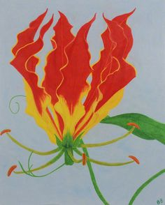 Flame Lily - Colored Pencil by Brina Beury #art #illustration #flower
