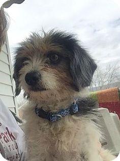 Hagerstown, MD - Yorkie, Yorkshire Terrier/Beagle Mix. Meet Dixie (ETAA), a dog for adoption. http://www.adoptapet.com/pet/17842502-hagerstown-maryland-yorkie-yorkshire-terrier-mix