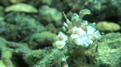 Harlequin Shrimp (Hymenocera picta) making it's way downtown