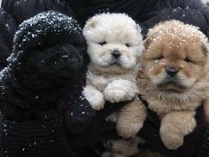 Three little Chow Chow Puppies (Songshi Quan) which means -puffy-lion dog. These dogs originated from Northern China Pet Puppy, Pet Dogs, Dog Cat, Pets, Doggies, Chow Chow Puppies, Lion Dog, Weiner Dogs, Baby Animals