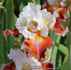 Photo of the bloom of Tall Bearded Iris (Iris 'Lady Leigh') Iris Flowers, Types Of Flowers, Real Flowers, My Flower, Pretty Flowers, Most Beautiful Flowers, Exotic Flowers, Colorful Flowers, Planting Bulbs