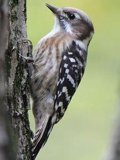Japanese Pygmy Woodpkr, Dendrocopos kizuki: RU/ CN/ N-KR/ S-KR/ JP // wikimedia.org