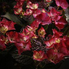 Hortensien Dark Angel Red Bezaubernde Farbenpracht im Sommer mit Black Diamond Hortensien!    Hortensien sind durch ihre reichliche und dauerhafte Blüte beliebte Pflanzen.    Als Rabattenpflanzen oder als Solitärpflanzen im Garten oder auf der Terrasse sind diese Hortensien macrophylla-Arten mit ihrer frischen und farbenfrohen Ausstrahlung atemberaubend und laubschön. Diese Schattenpflanzen bieten das herrliche Gefühl der [...]