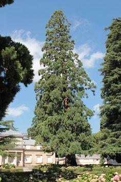 Secuoya Gigante  de la Casita del Prínciipe I y II (Sequoiadendron giganteum)