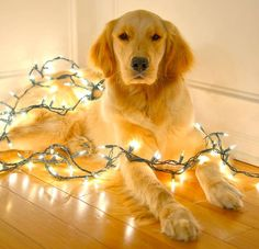 Golden with Christmas lights  ♥