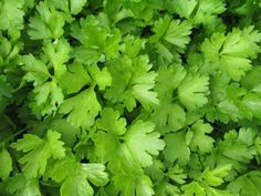 11 Essential Herbs for Your Edible Garden Container Plants, Container Gardening, Herb Gardening, Missouri Botanical Garden, Kitchen Herbs, Growing Seeds, Parsley Growing, Wild Edibles, Traditional Landscape