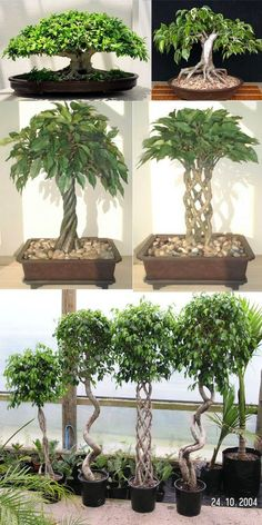 Growing your Ficus Bonsai Ficus bonsai are ideally suited for indoor bonsai. Watering Ficus bonsai, as with most bonsai, like to dry out between waterings. Light Ficus bonsai grow well in either direct or indirect sunlight. We prefer to grow Ficus Bonsai Ficus, Bonsai Plants, Bonsai Garden, Juniper Bonsai, Bonsai Tree Care, Indoor Bonsai Tree, Indoor Plants, Plantas Bonsai, Bonsai Styles
