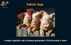 A magyar nagyfehér napi testtömeg gyarapodás 750 - 850 gramm is lehet