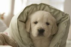 How to Bring a Golden Retriever Puppy Home