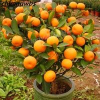 Orange SEeds Climbing Orange Tree SEed Bonsai Organic Fruit SEeds Like Christmas Tree Pot for Home Garden Plant Orange SEeds Climbing Orange Tree SEed Bonsai Organic Fruit SEeds Like Christmas Tree Pot for Home Garden Plant Home Garden Plants, Fruit Garden, Garden Seeds, Citrus Garden, Edible Garden, Organic Gardening, Gardening Tips, Balcony Gardening, Gardening Services