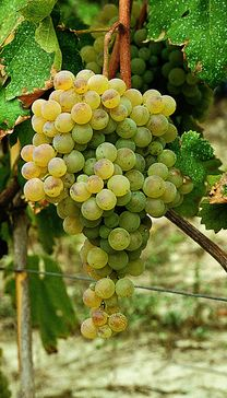 Cortese is a white wine variety from Italy, now being used in Australia illustrated is   Gavi, Colli Tortonesi, C. dell'Alto Monferrato