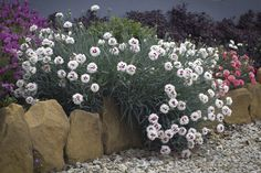 Dianthus 'Bright Eyes' • Fragrance & colour for entertainment areas • Containers • Small gardens or spaces • Edging for pathways or gardenbeds • General garden use • Cut flower for posies • Rockeries Mixed Border, Border Plants, Bright Eyes, Backyard Projects, Small Gardens, Cut Flowers, Pathways, Fragrance, Entertainment