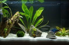 please Post Pics of your bettas home here! - Page 1173 Aquarium Garden, Tropical Aquarium, Aquarium Fish Tank, Planted Aquarium, Tropical Fish, Aquarium Ideas, Freshwater Plants, Freshwater Aquarium, Water Terrarium