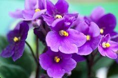 African Violet | ASPCA