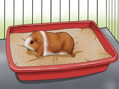 How to Potty Train a Guinea Pig. Guinea pigs are adorable, fun animals that enjoy time inside and outside their cages. To help keep your pet's cage and play areas more hygienic, you may want to potty train her. Like many animals, guinea. Guinea Pig House, Baby Guinea Pigs, Guinea Pig Care, Pet Pigs, Diy Guinea Pig Cage, Diy Guinea Pig Toys, Guinea Pig Clothes, Tiny Pigs, Guinea Pig Hutch