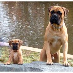 The four breeds most commonly called Mastiffs are the English Mastiff, the Neapolitan Mastiff, the Bull Mastiff and the Tibetan Mastiff. Giant Dog Breeds, Giant Dogs, Big Dogs, Cute Puppies, Cute Dogs, Dogs And Puppies, Doggies, Fluffy Puppies, Bullmastiff