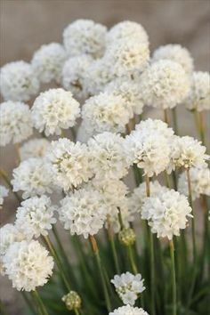 An excellent addition to your garden, ARMERIA 'Ballerina White', produces an abundance of blooms that will shine in containers, as an edging plant or in masses throughout the summer.Evergreen rounded clumps, in warmer zo Love Flowers, White Flowers, Beautiful Flowers, Edging Plants, Garden Plants, Moon Garden, Dream Garden, Arrangements Ikebana, White Plants
