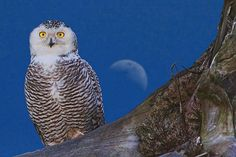 Snowy Owl and Moon © | Flickr - Photo Sharing!