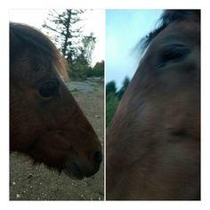 At least I got to kiss these two today #horse #horses #horseoftheday #horsesofinstagram #instahorse #instagramhorses #instapet #petsofinstagram #petoftheday #instagrampets #equestrian #equestrianlife #horsebackriding #horseriding #hackney #hackneyhorse #horselove #ilovemyhorse #demonpony #hackneypony #mylittlepony #ponychild #ilovemypony