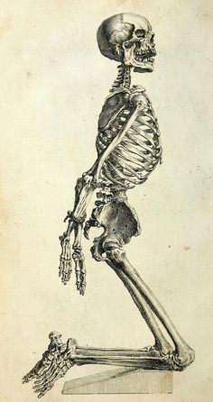 Skeleton of an Adult Male Posed to most effectively convey limb relation to torso anatomy. The Anatomy of the Humane Body: Edition VI. William Cheselden, 1741.